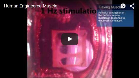 First Human Skeletal Muscle Grown In The Lab To Contract With Electrical Pulses