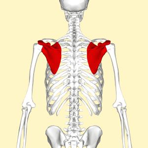 stable shoulder scapula